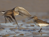 Dunlins (Calidris Alpina) Having a Territorial Battle Photographic Print by John Cornell