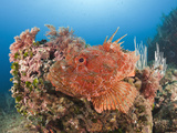 Scorpion Fish (Scorpaena Scrofa), Les Ferranelles, Medes Islands, Costa Brava, Mediterranean Sea Photographic Print by Reinhard Dirscherl