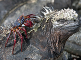 Galapagos Marine Iguana (Amblyrhynchus Cristatus) with a Sally Lightfoot Crab on its Head Photographic Print by Gerald & Buff Corsi