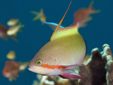 Male Red Cheeked Anthias (Pseudanthias Huchtii), Amed, Bali, Indonesia Photographic Print by Reinhard Dirscherl