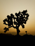 Joshua Tree (Yucca Brevifolia), Joshua Tree National Park, California, Mojave Desert, USA Photographic Print by Buff & Gerald Corsi