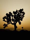 Joshua Tree (Yucca Brevifolia), Joshua Tree National Park, California, Mojave Desert, USA Photographic Print by Buff & Gerald Corsi