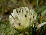 Bull Clover (Trifolium Fucatum), Bodega Head State Park, Sonoma County, California Photographic Print by Gerald & Buff Corsi