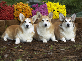 Pembroke Welsh Corgi Photographic Print by Cheryl Ertelt