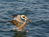 Brown Pelican on Water Surface (Pelicanus Occidentalis) Photographic Print by John Cornell
