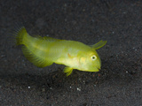 Juvenile Razorfish (Xyrichtys), Alam Batu, Bali, Indonesia Photographic Print by Reinhard Dirscherl
