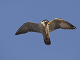 Peregrine Falcon Flying (Falco Peregrinus) Photographic Print by Richard Ettlinger