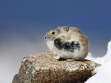 Alpine Pika (Ochotona Alpina), Rocky Mountains, North America Photographic Print by John Cornell