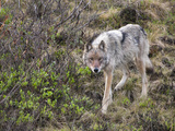 Gray Wolf (Canis Lupus), Denali National Park, Alaska, USA Photographic Print by Patrick Endres
