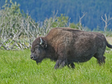 Wood Bison (Bison Bison Athabascae), Alaska, USA Photographic Print by Buff & Gerald Corsi
