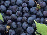 A Harvest of Juicy Concord Grapes (Vitis Labrusca) Lámina fotográfica por Wally Eberhart