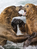 Brown Bears (Ursus Arctis) Play Fighting Behavior in the Brooks River, Katmai National Park, Alaska Photographic Print by Patrick Endres