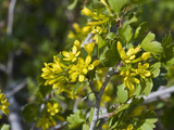 Golden Currant (Ribes Aureum) Snake Creek Valley, Great Basin National Park, Nevada, USA Photographic Print by Gerald & Buff Corsi