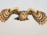 Barred Owl, Strix Varia, in Flight, USA Photographic Print by John Cornell