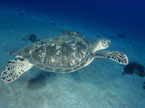 Green Sea Turtle (Chelonia Mydas) Photographic Print by David Fleetham
