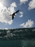 Frigatebird Flying over the Ocean (Fregata), Isla Mujeres, Yucatan Peninsula, Caribbean Sea, Mexico Photographic Print by Reinhard Dirscherl