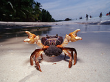 Sparring Female Crab with Eggs, (Gecarcinidae), Pacific Ocean, Panglao Island Photographic Print by Reinhard Dirscherl
