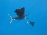 Atlantic Sailfish (Istiophorus Albicans), Islamorada, Florida Keys, Florida, USA Photographic Print by Reinhard Dirscherl