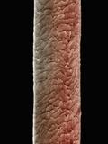 Human Forearm Hair, SEM X500 Photographic Print by Wolf Fahrenbach