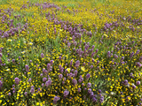 Owl's Clover (Orthocarpus Purpurascens) and Goldfields (Lasthenia) Carrizo Plain National Monument Photographic Print by Gerald & Buff Corsi
