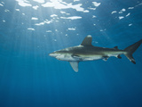 Oceanic Whitetip Shark, (Carcharhinus Longimanus), Daedalus Reef, Red Sea, Egypt Photographic Print by Reinhard Dirscherl
