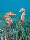 Common Seahorses (Hippocampus Ramulosus), Tamariu, Costa Brava, Mediterranean Sea, Spain Photographic Print by Reinhard Dirscherl