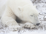 Polar Bear (Ursus Maritimus) Sleeping, Churchill, Manitoba, Canada Photographic Print by Cheryl Ertelt