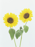 Sunflowers (Helianthus Annuus) Photographic Print by Wally Eberhart