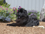 Newfoundland Sitting in a Garden Photographic Print by Cheryl Ertelt