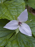 Sweet White Trillium Flower (Trillium Simile), Great Smoky Mountains National Park, Tennessee, USA Photographic Print by Gerald & Buff Corsi