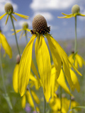 Yellow Coneflower (Ratibida Pinnata), Hayden Prairie State Preserve, Iowa, USA Photographic Print by Clint Farlinger