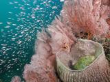 Scorpionfish (Scorpaenopsis Oxycephalus) Inside a Barrel Sponge (Xestospongia Testudinaria) Photographic Print by Reinhard Dirscherl