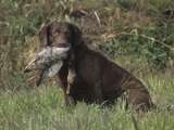 Chesapeake Bay Retriever Sitting with a Retrieved Duck in its Mouth Photographic Print by Cheryl Ertelt
