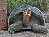 Galapagos Tortoise (Geochelone Elephantopus), Darwin Station, Santa Cruz Island, Galapagos Islands Photographic Print by Gerald & Buff Corsi