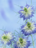 Love-In-A-Mist Flowers (Nigella Damascena) Photographic Print by Wally Eberhart