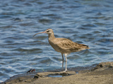 Whimbrel (Numenius Phaeopus), Galapagos Islands, Ecuador Photographic Print by Gerald & Buff Corsi