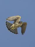 Merlin in Flight Photographic Print by Richard Ettlinger