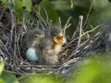 Green Heron (Butorides Virescens) Chicks in Nest and One Unhatched Egg, Florida, USA Fotografie-Druck von John Cornell