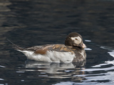 Long-Tailed Duck or Oldsquaw (Clangula Hyemalis), Seward, Alaska, USA Photographic Print by Buff & Gerald Corsi