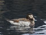 Long-Tailed Duck or Oldsquaw (Clangula Hyemalis), Seward, Alaska, USA Photographic Print by Buff & Gerald Corsi