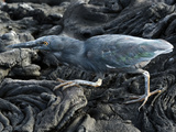 Lava Heron (Butorides Sundevalli), Sullivan Bay Lava Field, Galapagos Islands, Ecuador Photographic Print by Gerald & Buff Corsi