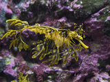Leafy Sea Dragon (Phycodurus Eques), Western Australia, Pacific Ocean Photographic Print by Gerald &amp; Buff Corsi