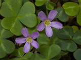 Redwood Sorrel (Oxalis Oregana) Is a Dicot Native to California Photographic Print by Gerald & Buff Corsi