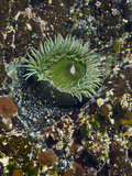 Giant Green Anemone (Anthopleura Xanthogrammica), Glacier Bay National Park, Alaska Photographic Print by Gerald & Buff Corsi