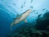 Gray Reef Shark (Carcharhinus Amblyrhynchos), Fiji, Note the Remoras on its Body Photographic Print by David Fleetham