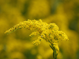 Seaside Goldenrod (Solidago Sempervirens), Charleston, South Carolina, USA Photographic Print by Marc Epstein