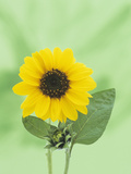 Sunflower (Helianthus Annuus), an Icon for Summer Photographic Print by Wally Eberhart