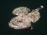 Short-Spined Anglerfish (Lophius Budegassa), Cap De Creus, Costa Brava, Spain Photographic Print by Reinhard Dirscherl