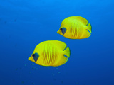 Masked Butterflyfishes, Chaetodon Semilarvatus, Daedalus Reef, Red Sea, Egypt Photographic Print by Reinhard Dirscherl