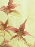 Amaryllis Flowers (Hippeastrum), La Paz Variety Photographic Print by Wally Eberhart